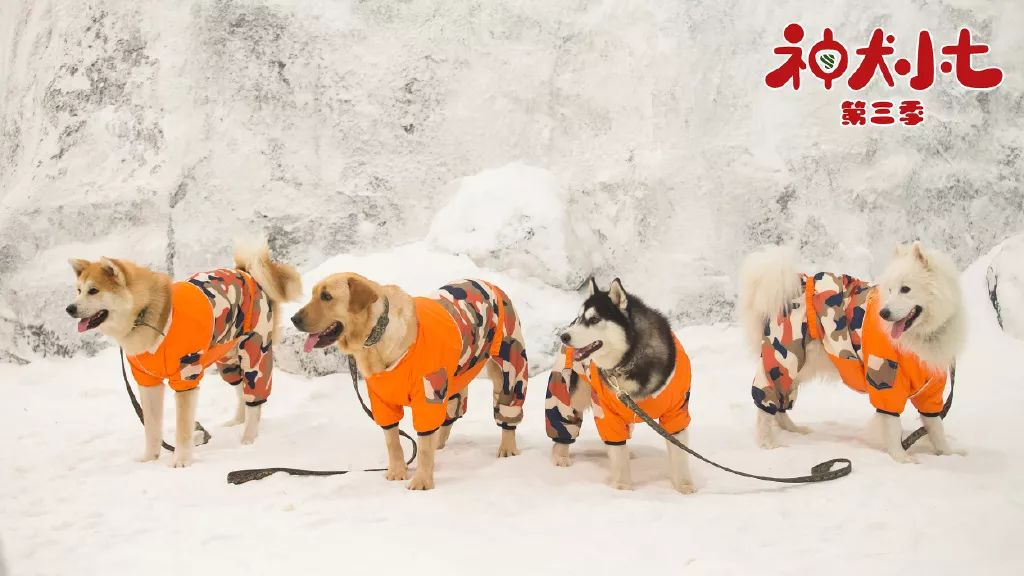 《神犬小七3》激萌归来,景田相伴热血救援
